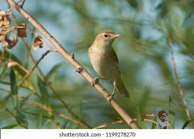 Blyths reed warbler (Acrocephalus dumetorum) sits on a willow branch in the summer near the river.