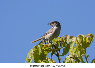Blyth's reed warbler sitting on branch of tree with insect in beak, ready to feed nestlings. Cute little songbird. Bird in wildlife.