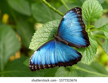 Bne Blue Morpho Butterfly from above, resting on green leaves with wings opened to reveal bright blue. The iridescent lamellae are only present on the dorsal sides of their wings.