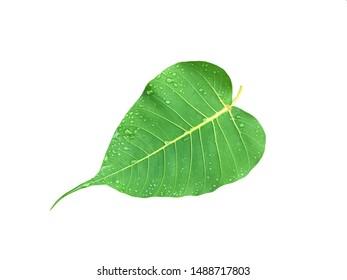 Bo Bodhi leaves stock photo.