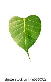 Bo leaf
