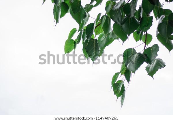bo leaf green on white background