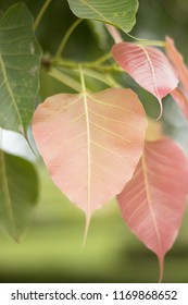 Bo leaf  Green and red Bodhi leaves