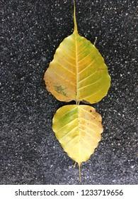 Bo leaf Leaves