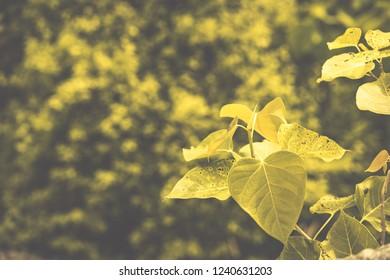bo leaf  ( pho leaf, bothi leaf) sacred fig leaves, v-shape or heart shape ,  background and texture , vintage concept