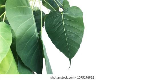 Bo leaf (Sacred fig leaves, bo leaf, bothi leaf) isolated on white background. Green Bo leaf clipping path set left side of image with copy space.