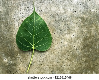 Bo leaf (Sacred fig)on the cement background