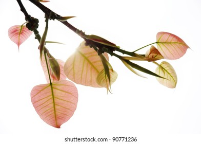 bo leaf in the sunlight of winter