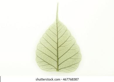 Bo leaf texture, Bodhi leaf