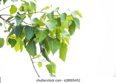 Bo leaf  , White background