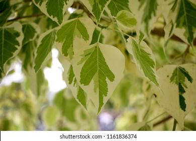 Bo leaf,Bodhi Tree,Pho Si Maha Pho.