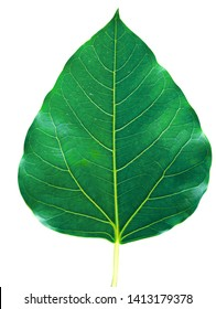 Bo leaves heart-shaped leaves are long end. on white background ,Tree is the bothi perennials planted in popular Buddhist temples (Cliping Path)
