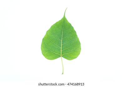 Bo leaves heart-shaped leaves are long end. on white background