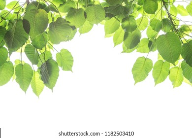 Bo leaves isolated on White Background with bright of sunrise, Bo is name of leaves in Buddhism