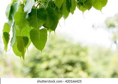 bo tree , bothi tree ,pipal tree leaves background