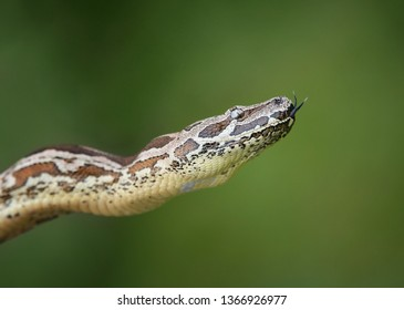 Dumeril's Boa (Acrantophis dumerili), a non-poisonous snake. Green nature background with copy space.