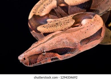 Boa constrictor (Boa constrictor constrictor)