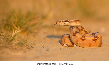Common Sand Boa High Res Stock Images Shutterstock Tensorflow implementation of a dqn algorithm to learn to play the game of snake. https www shutterstock com image photo boa constrictor called redtailed common species 1155911536