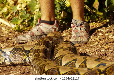 Boa Constrictor Close Mans Feet Animals Wildlife Stock Image 1254682117