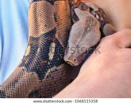 Boa constrictor at closeup held by male person around neck on shoulder