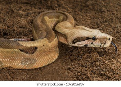 Boa constrictor imperator mutational form Hypo Jungle. Albino male. Snake shows her tongue