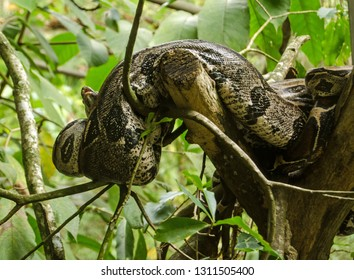 A boa constrictor snake resting in a tree in the rainforest of Tobago.