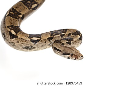 Boa Constrictor snake in studio isolated on white background