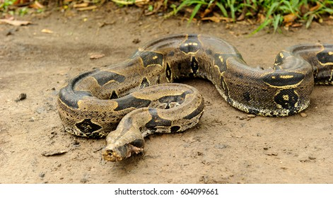 Boa constrictor, a species of large, heavy-bodied snake.