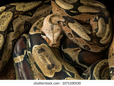 Boa constrictor constrictor â?? Surinam Guyana. Male