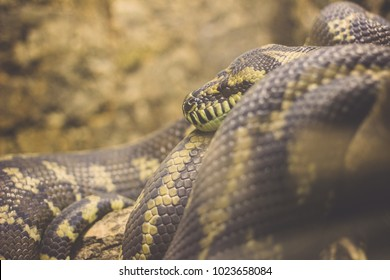 Common Sand Boa High Res Stock Images Shutterstock Want to discover art related to gungi? https www shutterstock com image photo boa locker looking you 1023658084