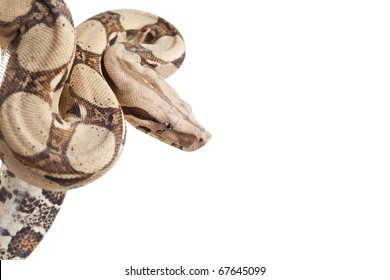 Boa snake (Boa constrictor constrictor) isolated on white background