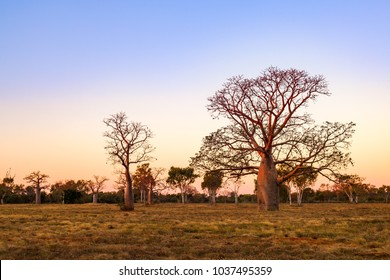 Boab (aka Baobab tree) trees at sunset in the Kimberley town of Derby, Western Australia, Australia. Endemic to Australia, boabs occur in the Kimberley region of Western Australia.