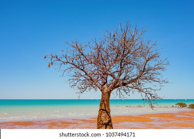 A boab (baobab tree) tree grows on the coastline in Broome, a coastal town in the Kimberley region of Western Australia, Australia.