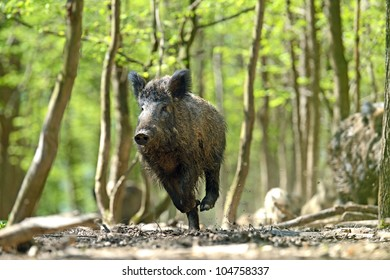 boar feeding in the forest