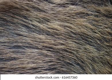 Boar fur texture, wildlife animal, close up