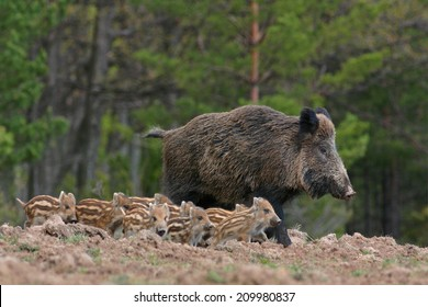 Boar and its little