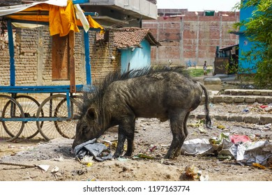 Boar is looking for food in a pile of garbage. Bodhgaya, India