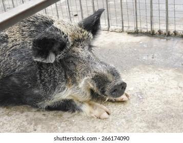 """Boar in pen, closeup, Safari Park """"Taigan"""", Crimea."""