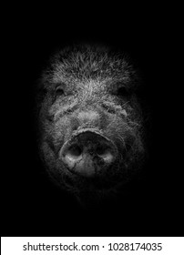 Boar, Pig Portrait