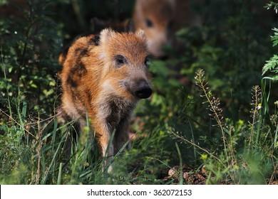 Boar piglet in grass.