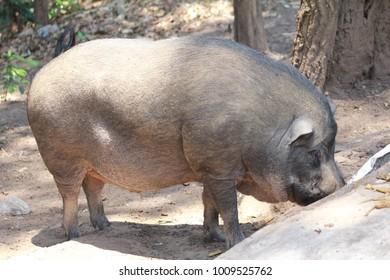 boar  Prowl look for food
