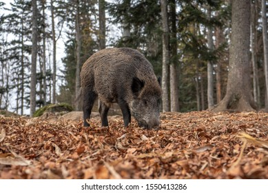 Boar is standing in the autumn forest, in Bayerischer Wald National Park, Germany