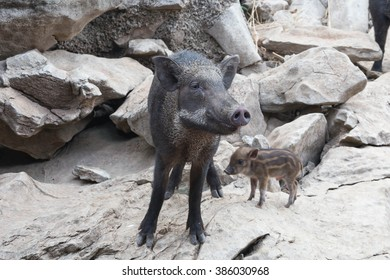 The boar was walking on the stone mountain.
