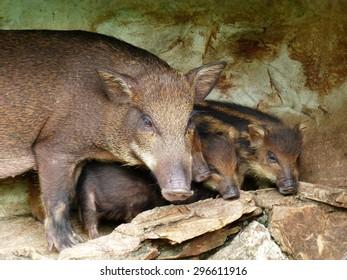 boar in zoo