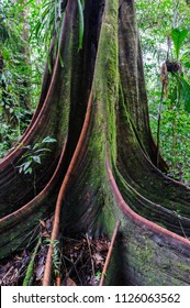 Board roots of a tree giant in the amazon area of Ecuador, South America. / Board roots of a tree giant