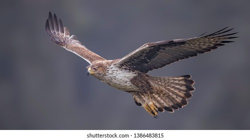 At the boarder Spain/Portugal I managed to photograph the rare Bonelli's eagle - capturing it while eating, flying or resting on a branch