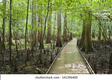 A boardwalk through the cypress forest, swamp, and knees of Congaree National Park in South Carolina.
