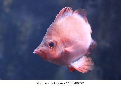 The boarfish (Capros aper) is a species of fish in the Caproidae family, the only known member of its genus