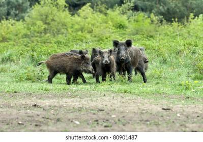 boars family