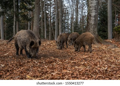 Boars are standing in the autumn forest, in Bayerischer Wald National Park, Germany